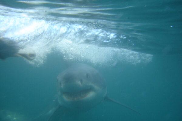 Great-White-Shark-diving-1