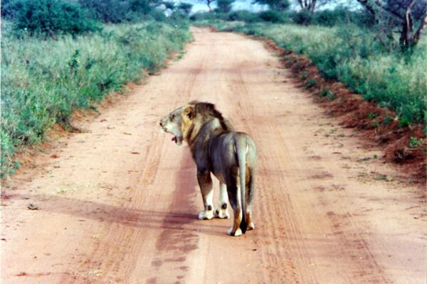 Male-lion-Kemya-safari